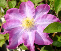 Pink Champagne Clematis
