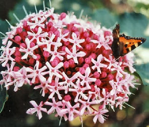 arbustre a fleurs Clerodendron_bungei_planfor01