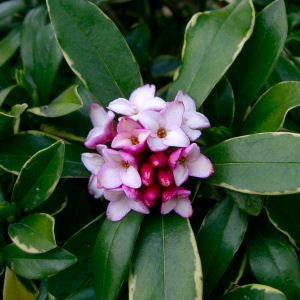 Winter Daphne or Fragrant Daphne - Daphne odora - fleur