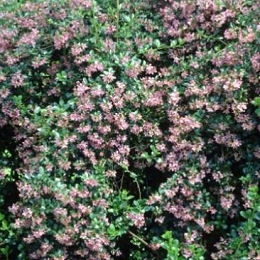 Escallonia macrantha - Escallonia macrantha