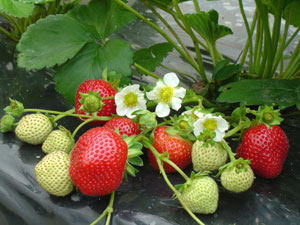 Strawberry plant 'Maestro' - Fragaria vesca 'Maestro'