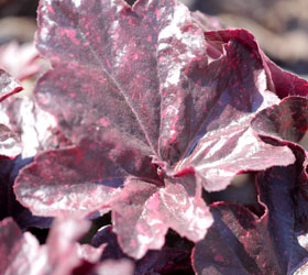 Heuchera 'Midnight rose' - Heuchera 'Midnight rose'
