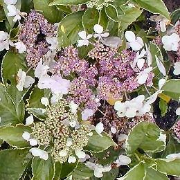 Hortensia à feuillage panaché