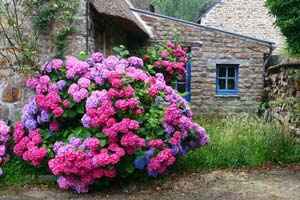 Comprar hortensias para su jard n - Quand planter des hortensias ...