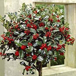 Azevinho 'Alaska' - Ilex aquifolium 'Alaska'