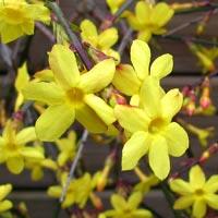 Jasmim amarelo ou jasmim-de-são-josé - Jasminum nudiflorum