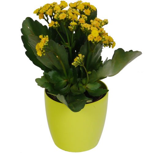 kalanchoe jaune cache pot lime vente kalanchoe jaune. Black Bedroom Furniture Sets. Home Design Ideas