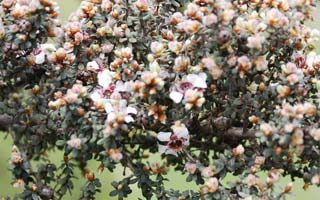 Leptospermum Silver Sheen
