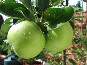 Apple tree 'Granny Smith'