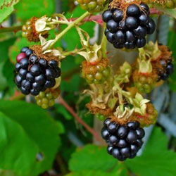 Rbustos frut feros para pequenos espa os for Planta arbustos para jardineras