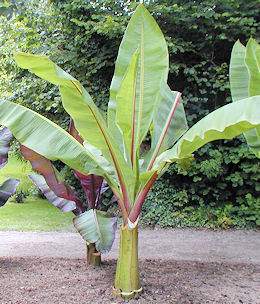 Musa Basjoo Banana tree