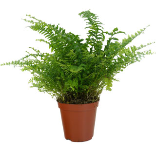 Boston Fern - Pot D. 12 cm - Nephrolepis exaltata 'Bostonienis' - Indoor plant