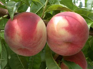 Peach tree with white flesh