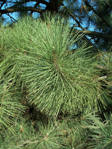 Coulter Pine - Pinus coulteri
