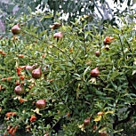 Dwarf Pomegranate - Punica granatum nana