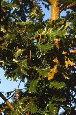 Hungarian Oak or Italian Oak - Quercus frainetto or quercus farnetto