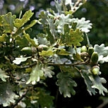 Downy Oak or pubescent Oak - Quercus pubescens