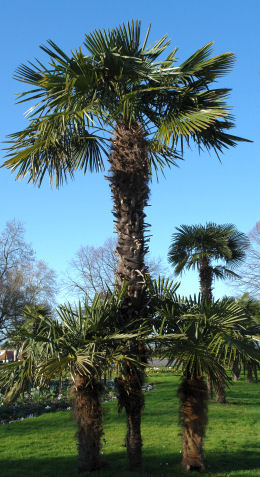 Windmill Palm or Chusan Palm - Trachycarpus fortunei or chamaerops fortunei