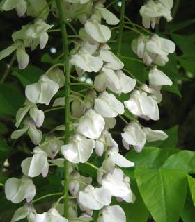 Glicínia branca - Wisteria floribunda alba