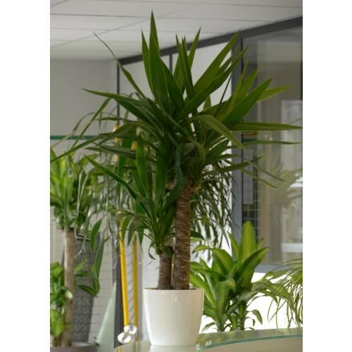 Yucca pied d 39 l phant c17 vente yucca pied d 39 l phant for Plante 60 80