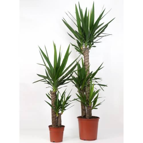Yucca pied d/él/éphant Yucca elephantipes BOTANICLY Hauteur: 90 cm Plantes vertes d int/érieur