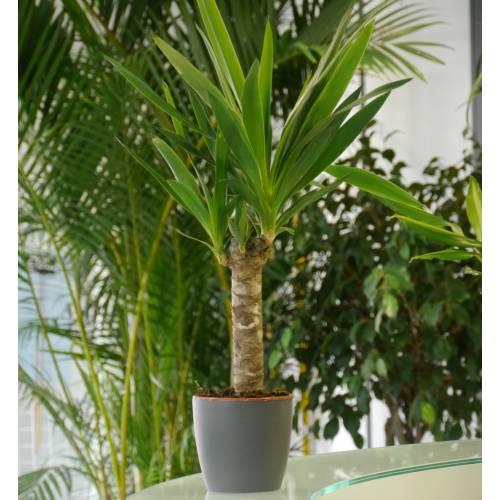 Yucca pied d 39 l phant c14 vente yucca pied d 39 l phant for Yucca elephantipes exterieur