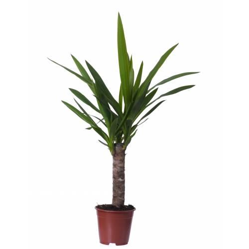 Yucca pied d 39 l phant c14 vente yucca pied d 39 l phant for Yucca exterieur gele