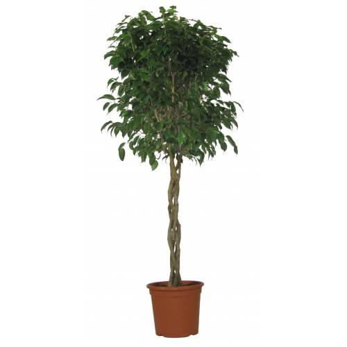 Ficus benjamina 39 danielle 39 c25 vente ficus benjamina - Ficus benjamina precio ...