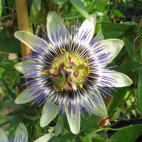 ffdb9d74705 Passiflore bleue   vente Passiflore bleue   Passiflora caerulea