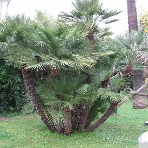 Palmier nain vente palmier nain chamaerops humilis for Palmier nain exterieur