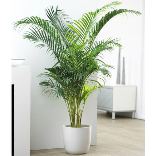 Areca c22 vente areca c22 chrysalidocarpus - Plante d interieur grimpante ...