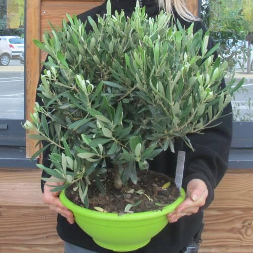 olivier bonsa vente olivier bonsa olea europea bonsa. Black Bedroom Furniture Sets. Home Design Ideas