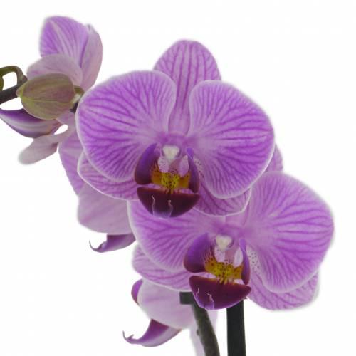 orchidee blanche et mauve