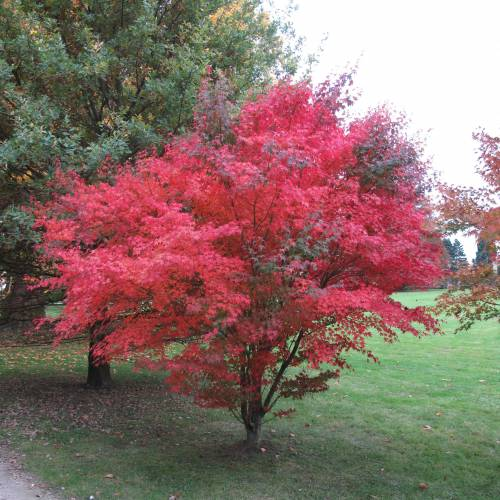 Erable du japon 39 atropurpureum 39 vente erable du japon for Arbol rojo jardin