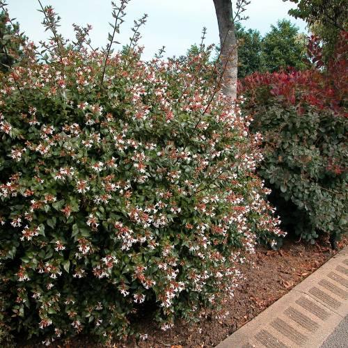 Abelia Grandiflora Vente Abelia Grandiflora Abelia Grandiflora