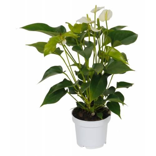 Anthurium fleurs blanches c12 vente anthurium for Achat plante interieur
