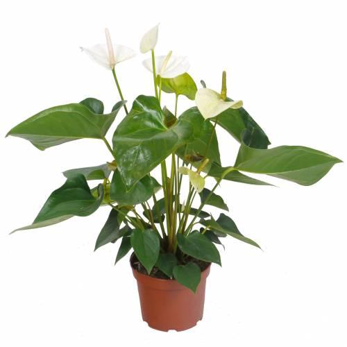 Anthurium fleurs blanches c17 vente anthurium for Achat plante verte en ligne