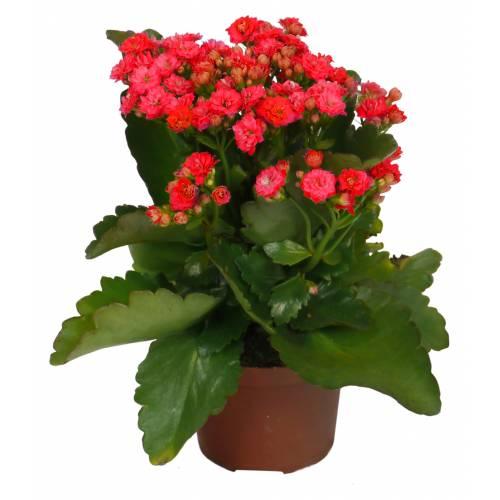 Kalanchoe A Fleurs Rouges C12 Vente Kalanchoe A Fleurs Rouges