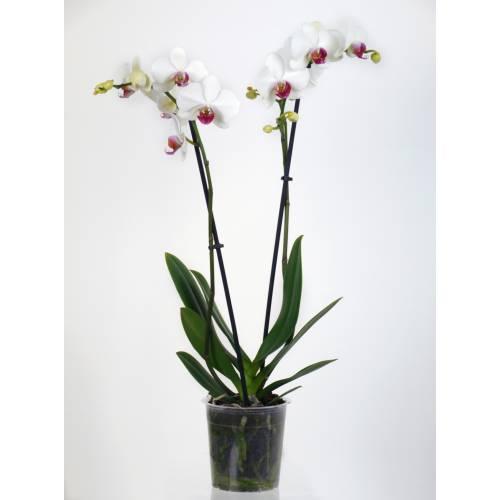 Orchidée papillon Blanche, Phalaenopsis - C12 : vente ...