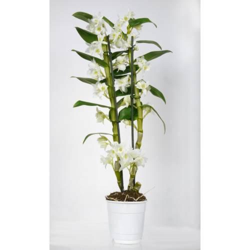 Orchid e bambou blanche c12 vente orchid e bambou for Bambou interieur entretien