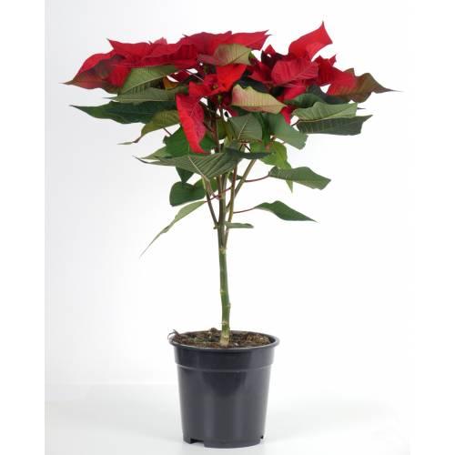 Poinsettia rouge etoile de no l vente poinsettia rouge for Plante rouge de noel