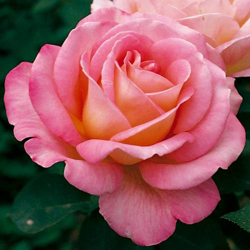 b6869ce045ea9 Rosier  Astrée    vente Rosier  Astrée    Rosa Astrée