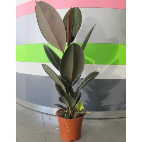 Caoutchouc c17 vente caoutchouc c17 ficus elastica for Plante caoutchouc