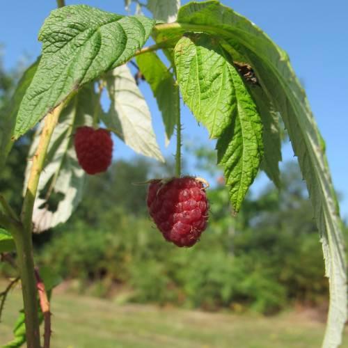 Raspberry heritage author planfor date 07 09 2014 copyright raspberry