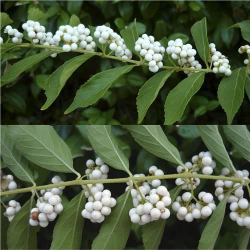 Arbuste aux bonbons blanc vente arbuste aux bonbons for Vente arbuste