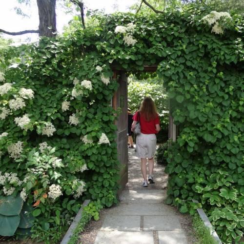 planter un hortensia grimpant
