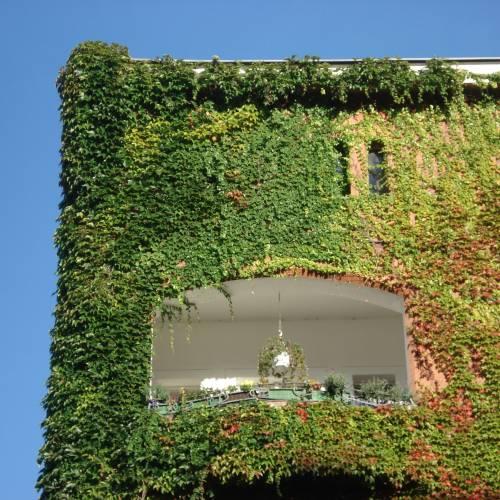 Vigne vierge de veitch vente vigne vierge de veitch parthenocissus tricus - Vigne vierge feuillage persistant ...