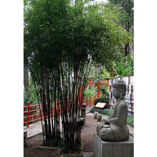 Bambou phyllostachys nigra vente bambou phyllostachys nigra phyllostachys nigra for Phyllostachys aurea en pot