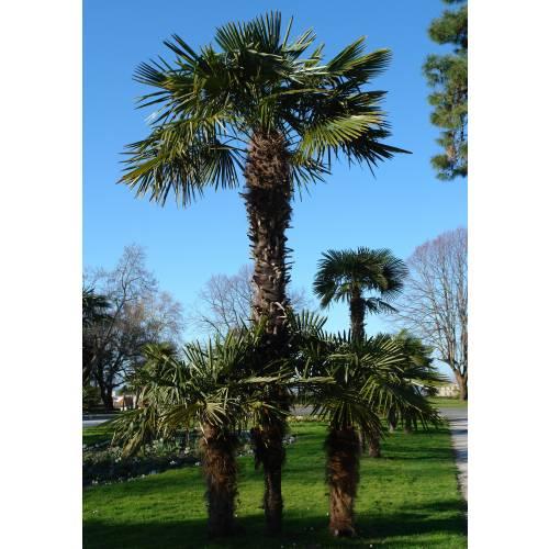 palmier 06 fr