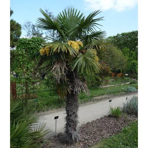 palmier chanvre vente palmier chanvre trachycarpus fortunei. Black Bedroom Furniture Sets. Home Design Ideas